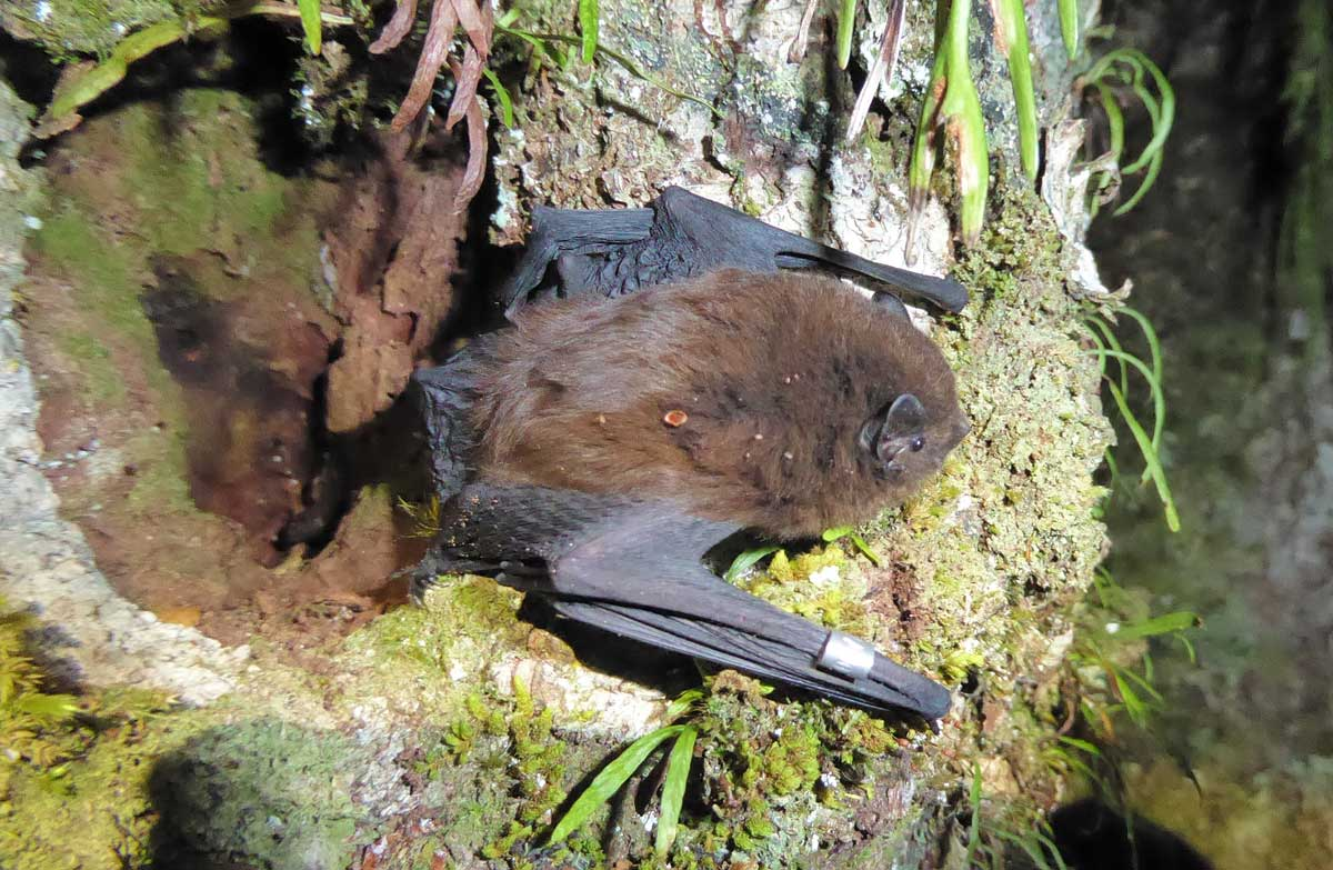 Rare native bats discovered on the West Coast for the first time in decades